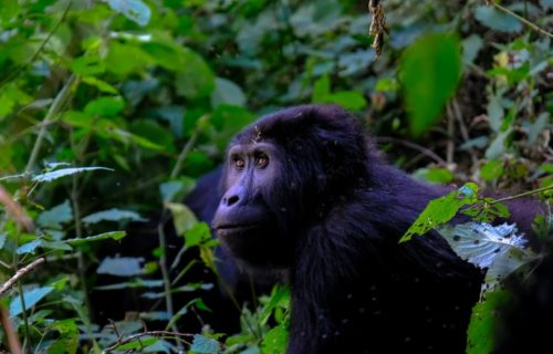 10 Days Uganda Wildlife tour and gorilla trekking safari - Kabira Uganda Safaris