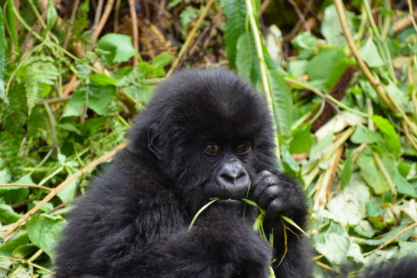 10 Days Uganda Wildlife tour & gorilla trekking safari - Kabira Uganda Safaris