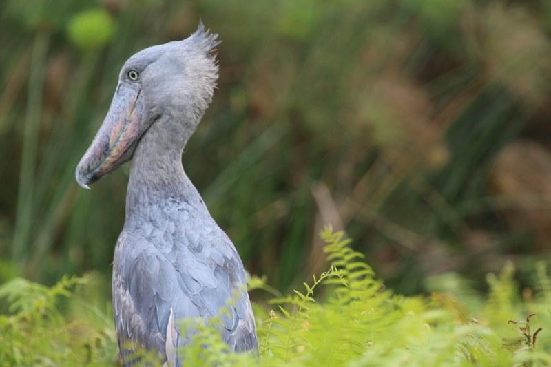 14 Days Uganda birding safari & wildlife tour - Kabira Uganda Safaris