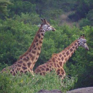 2 Days Murchison Falls safari Uganda - Kabira Uganda Safaris tours