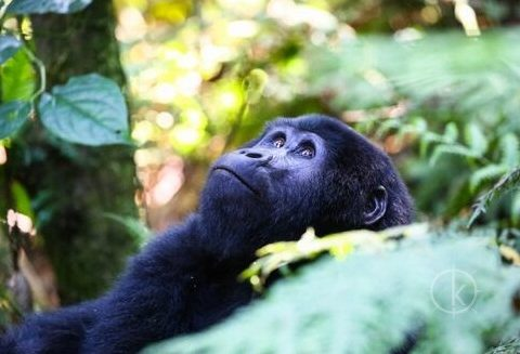 3 Days Bwindi gorilla trekking safari Uganda