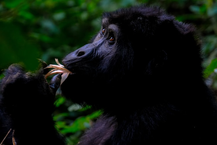 3 Days Bwindi gorilla trekking safari Uganda - Kabira safaris and tours Uganda