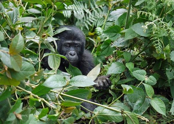 3 Days Bwindi gorilla trekking safari from Kigali - Kabira Uganda Safaris
