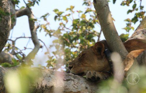 4 Days Queen Elizabeth National Park Wildlife Safari (tree climbing Lions) - Kabira Uganda