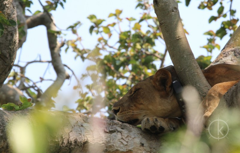 4 Days Queen Elizabeth National Park Wildlife Safari (tree climbing Lions) - Kabira Uganda