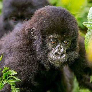 6 Days Uganda gorilla trekking & wildlife tour - Kabira Uganda Safaris