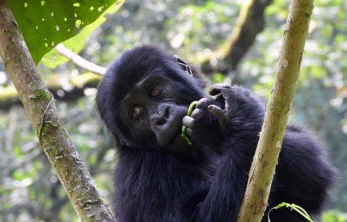 Gorilla trekking in Uganda - Bwindi Forest
