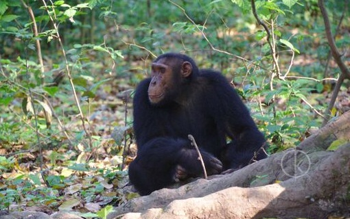 Chimp trekking in Uganda - Kabira Safaris tours