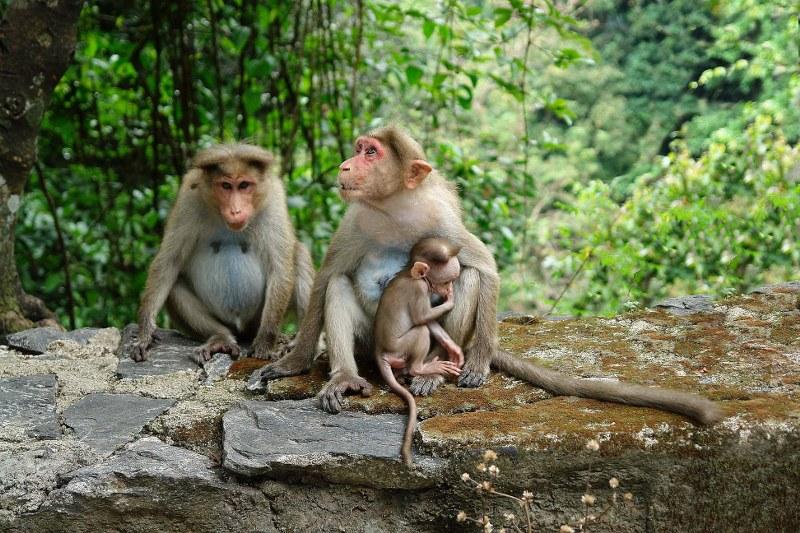 Golden Monkey Tracking Uganda Mgahinga Trekking
