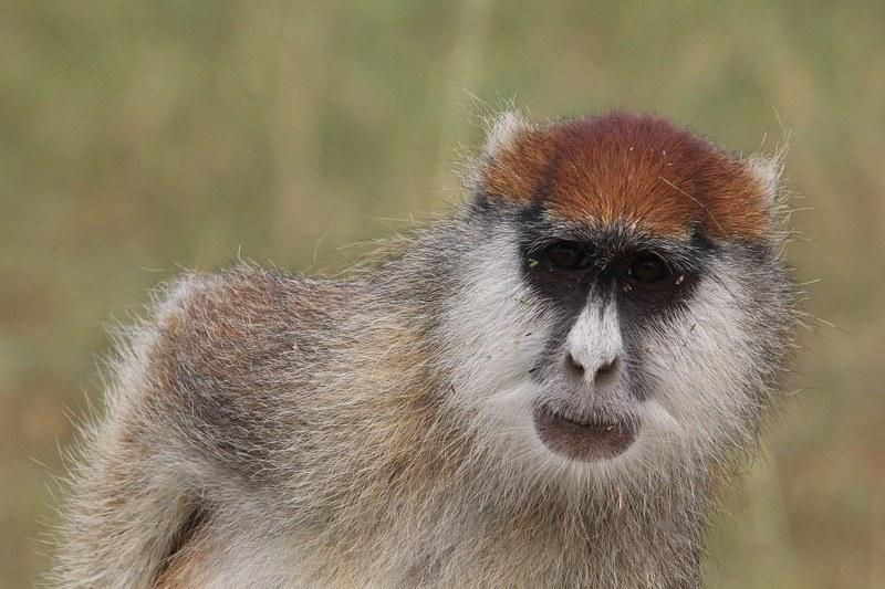 Golden Monkey tracking Uganda