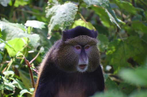 Golden Monkey tracking in Uganda - Kabira Uganda Safaris