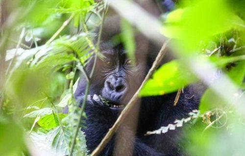 Gorilla trekking in Uganda - Kabira safaris tours