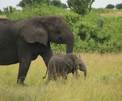 Wildlife Safaris in Uganda - Safaris Uganda Kabira