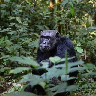 chimpanzees in Uganda - a safari by Kabira Uganda Safaris