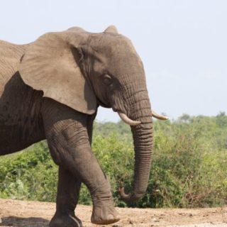 elephants in the wild - kabira uganda safaris