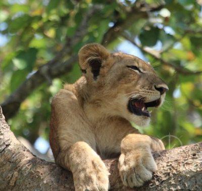 tree climbing lions - wildlife safaris in uganda
