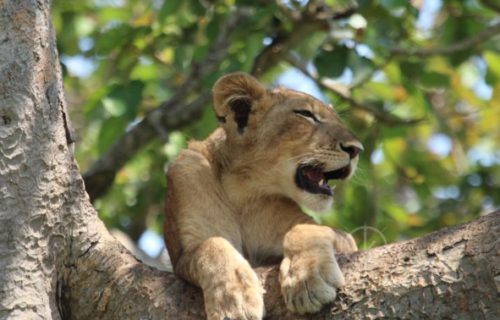 tree climbing lions - wildlife safaris in uganda
