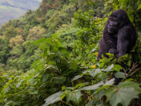 Bwindi Impenetrable National Park Uganda