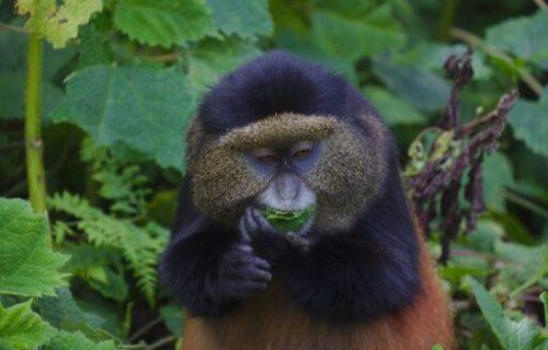 Golden Monkey tracking in Uganda - Kabira Uganda Safaris