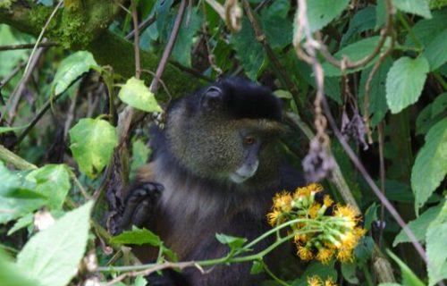 Golden Monkeys in Uganda - Kabira Uganda Safaris