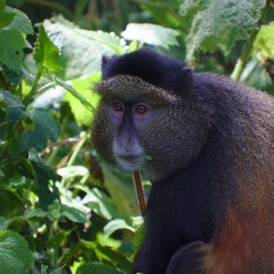 Golden Monkeys tracking Uganda - Kabira Uganda Safaris