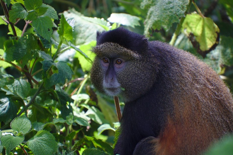 Golden Monkeys tracking Uganda - Kabira Uganda Safaris