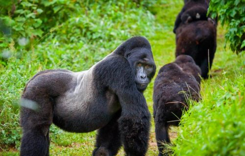 Rwanda Mountain Gorillas move to Mgahinga Gorilla National Park