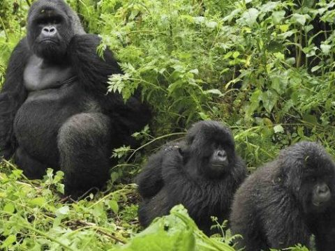 Rwanda Mountain Gorillas move to Mgahinga Gorilla National Park