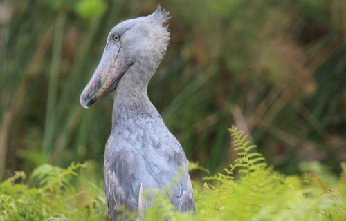 shoebill - Kabira Uganda Safaris - bird watching