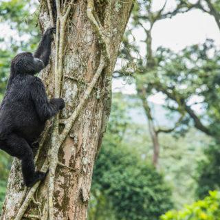 Gorillas in Bwindi Forest National Park