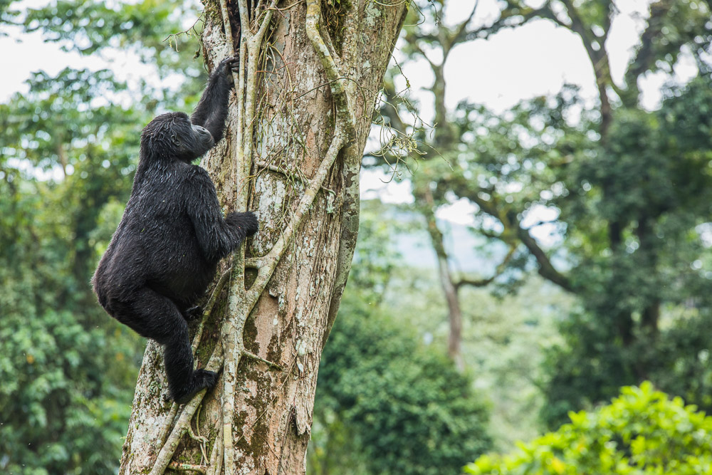 Gorillas in Bwindi Forest National Park
