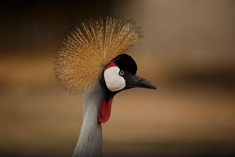 Grey Crowned Crane - Birding Safaris in Uganda