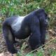 Why Choose Uganda As Your Safari Destination?