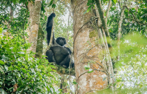 Mountain gorilla families in Bwind forest National Park