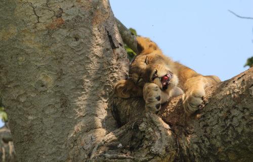 Queen Elizabeth National Park Wildlife - Tree Climbing Lions