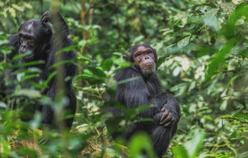 chimpanzee tracking safari in Kibale National Park