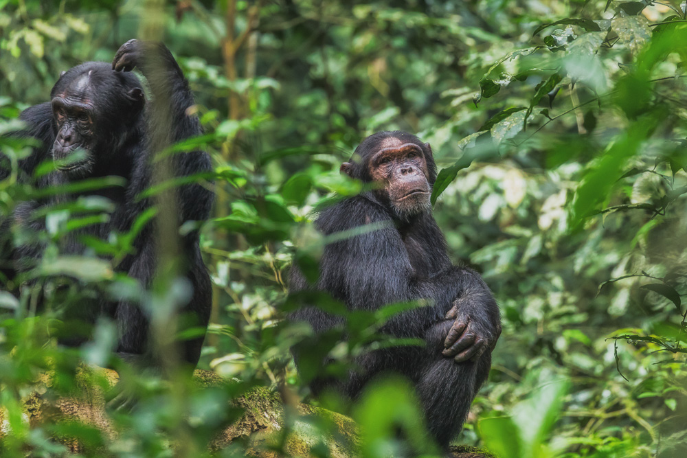 chimpanzee tracking safari in Kibale National Park