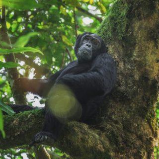 chimpanzees in Kibale Forest National Park Uganda