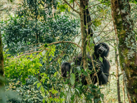 gorilla trekking - Bwind forest National Park