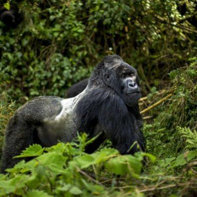 Adult Male Mountain Gorilla Silverback [ Gorilla trekking tours in Rwanda]