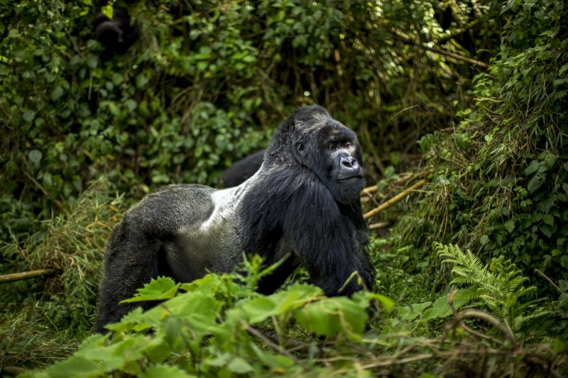 Rwanda Gorilla Trekking 2021 Cost Rwanda Gorilla Safari Tours
