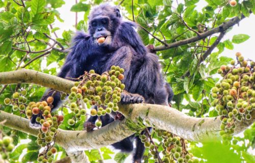 Chimpanzee trekking tours in Rwanda Nyungwe Forest National Park