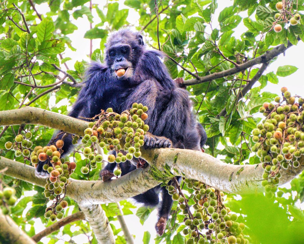 Chimpanzee trekking tours in Rwanda Nyungwe Forest National Park