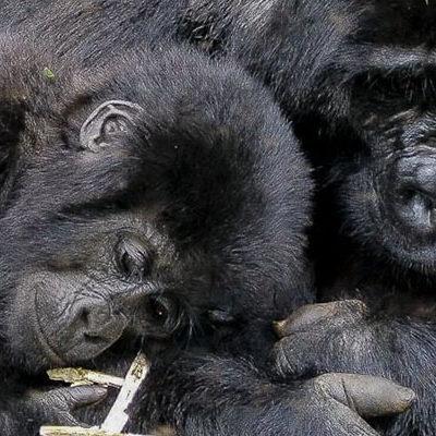 Gorilla treks tours in Uganda