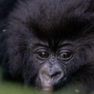 Gorillas tours in Rwanda
