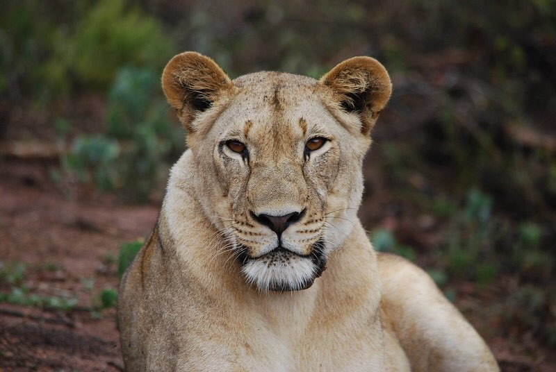 King of the Jungle Akagera National Park