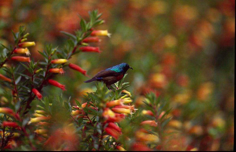 Northern double collared sunbird Akagera National Park Bird watching