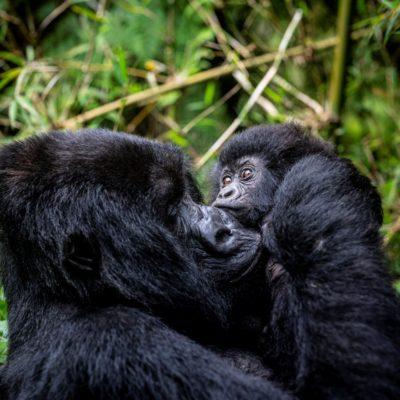 Gorilla safaris in Rwanda - Volocanoes National Park
