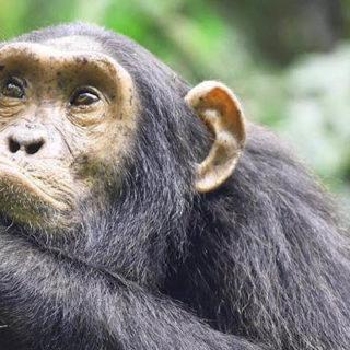 chimp trekking in Kibale Forest National Park Uganda