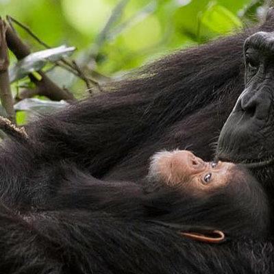 chimps in Kibale National Park Uganda